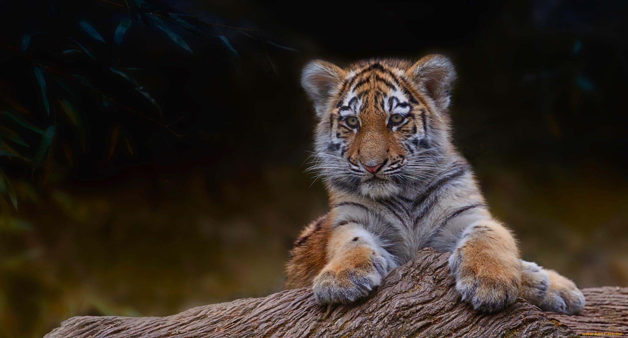 полгода картинки маленькой тигрицы восточная